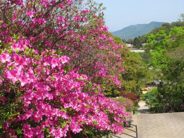 Mount Inasa Azalea Festival-6