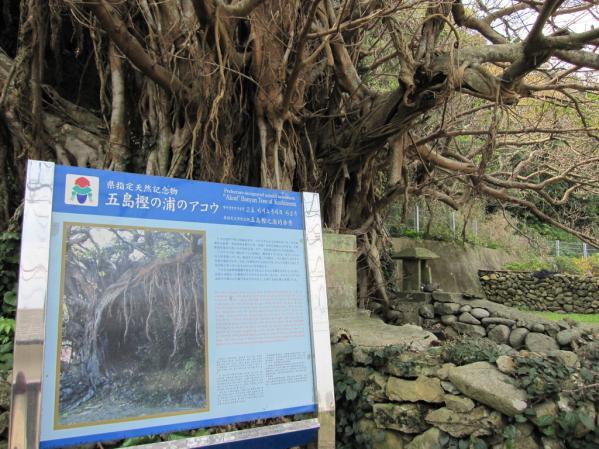 樫ノ浦のアコウ巨木-1