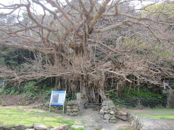 樫ノ浦のアコウ巨木-0