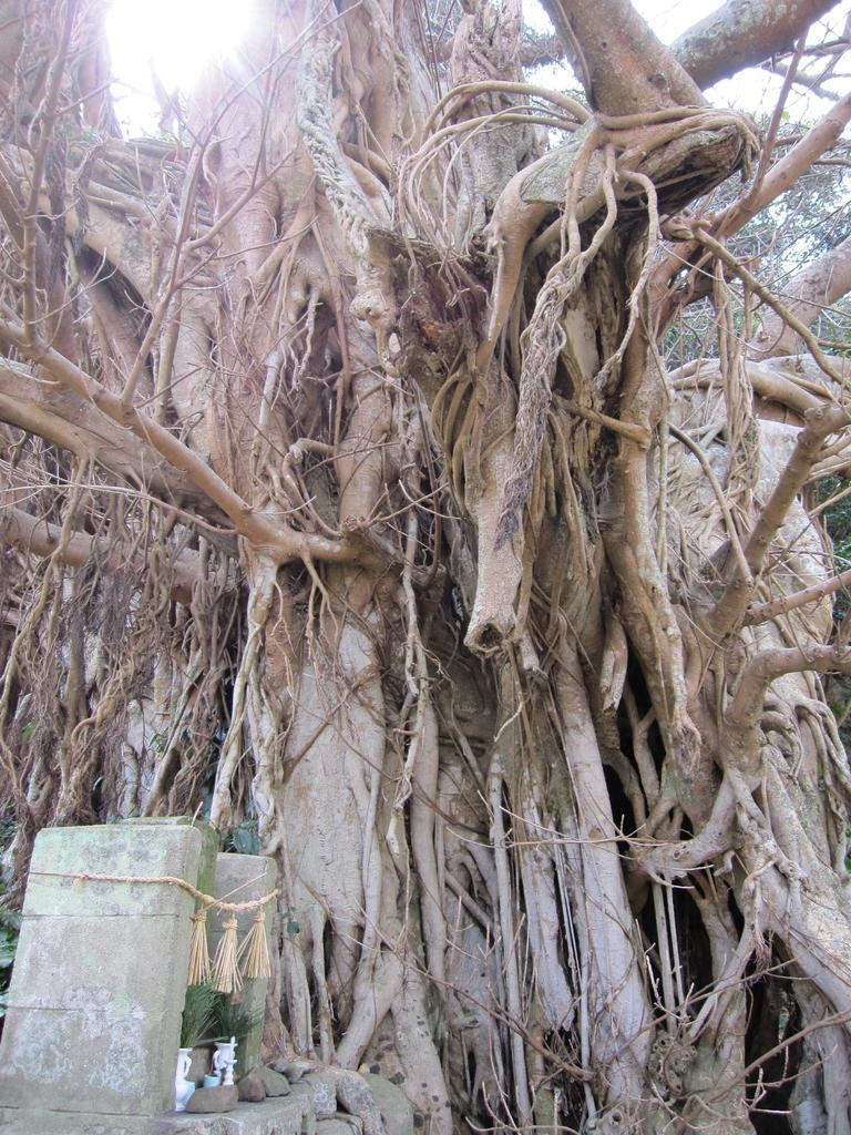 樫ノ浦のアコウ巨木-2