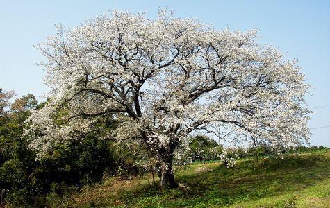 慈眼桜-1