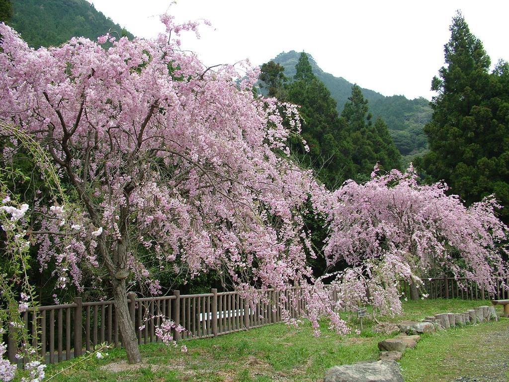 真竹谷のしだれ桜群-1