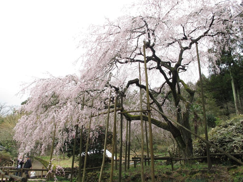 【一般開放中止】田ノ頭郷(波佐見町) しだれ桜-1