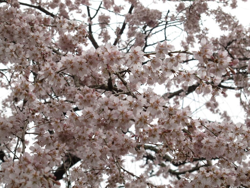 【一般公開中止】田ノ頭郷(波佐見町) しだれ桜-2