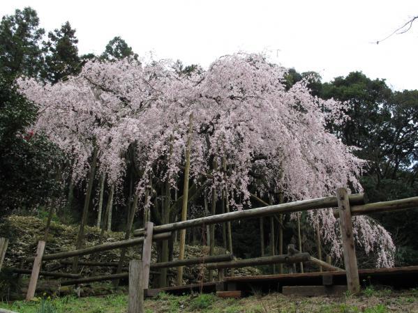 【一般公開中止】田ノ頭郷(波佐見町) しだれ桜-0