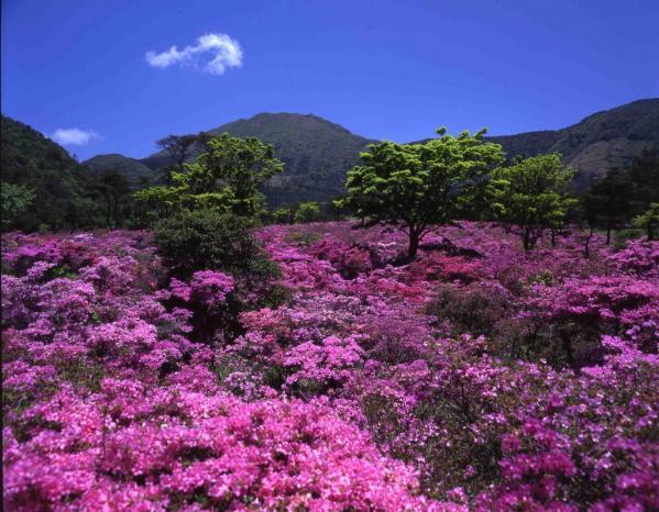 雲仙のミヤマキリシマ群落-3