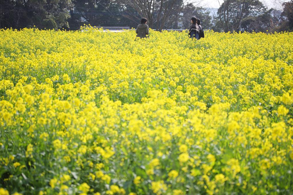 【お花見情報】展海峰の菜の花-1