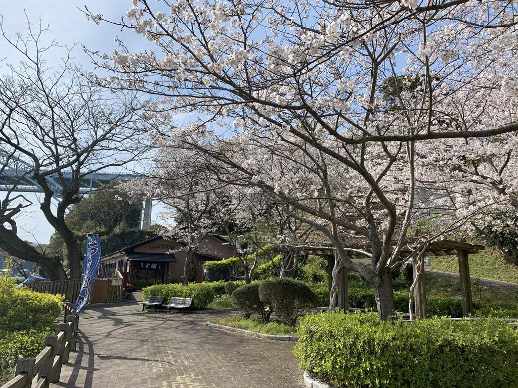 【お花見情報】西海橋のソメイヨシノ-3