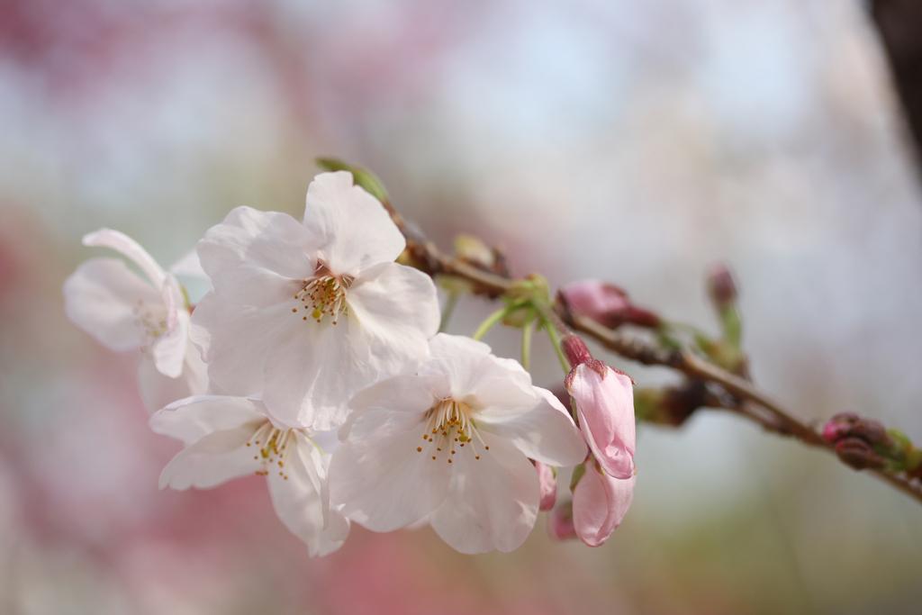 【お花見情報】中央公園の桜-1