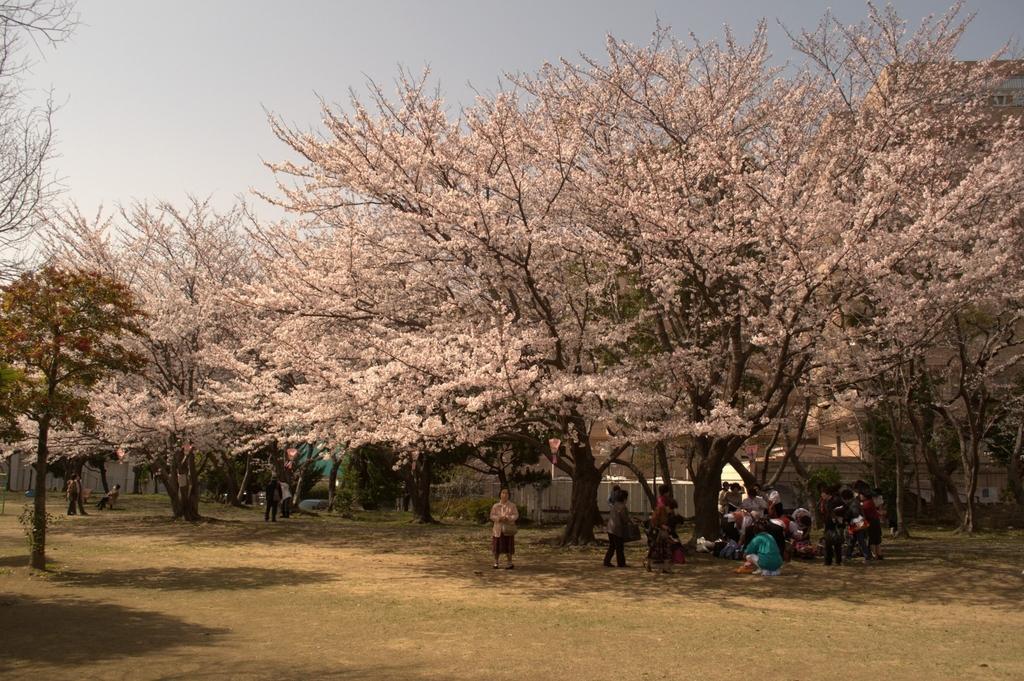 【お花見情報】佐世保公園の桜-4