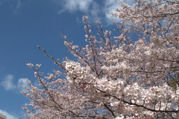 【お花見情報】佐世保公園の桜-2