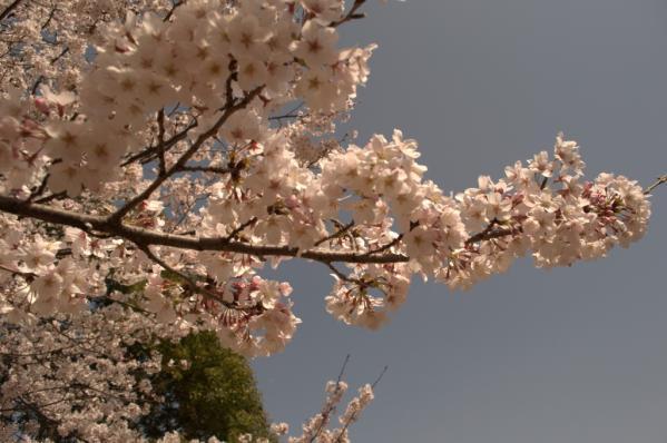 【お花見情報】佐世保公園の桜-6