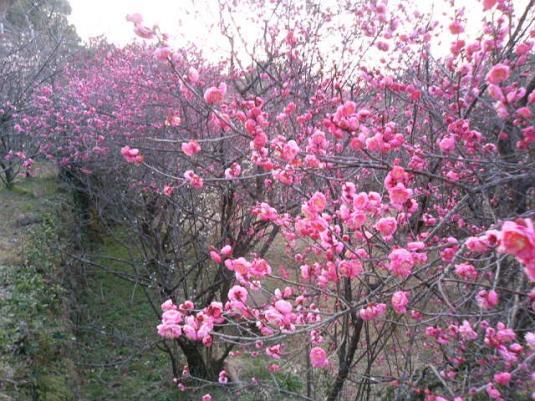 【お花見情報】花の森公園-2