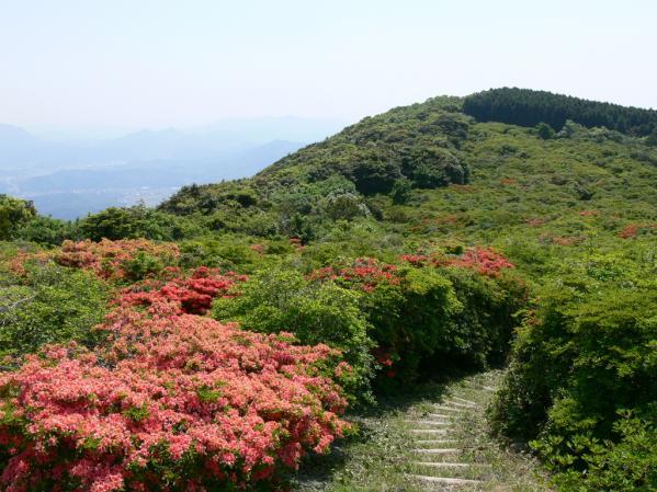 【お花見情報】隠居岳のツツジ-2