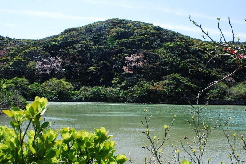 池塚のハマジンチョウ-2