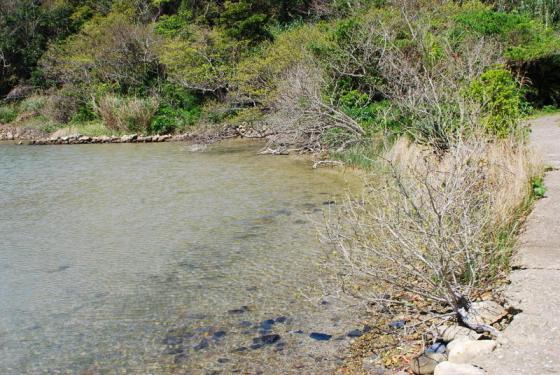 池塚のハマジンチョウ-3