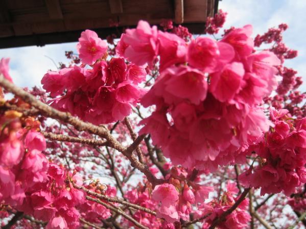 緋寒桜の郷まつり-1