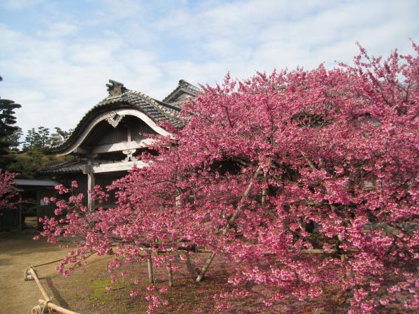 緋寒桜の郷まつり-0