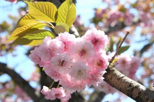 大村桜まつり-5