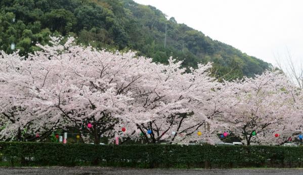 さいかい里山の春 櫻と菜の花 春爛漫-1
