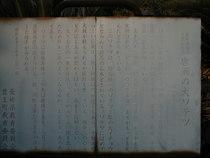 唐洲の大ソテツ-2