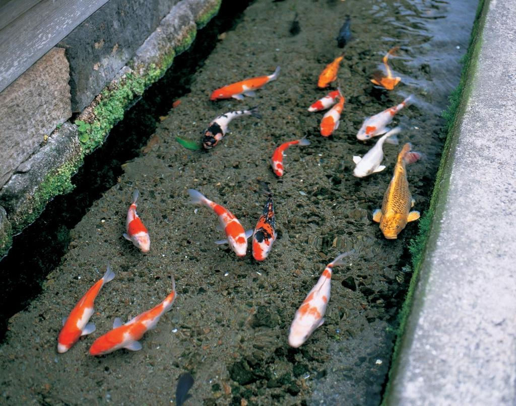 The City of Swimming Carps-1
